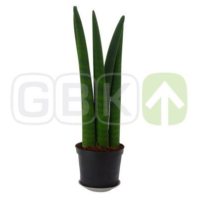 Sansevieria cylindrica bogenhanf zimmerpflanze hanf min 20cm h he - Hanf zimmerpflanze ...